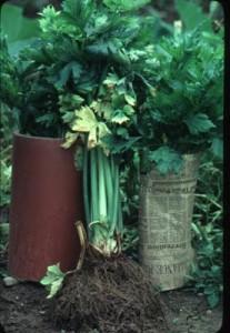 celery blanch