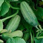 огурец, cucumber