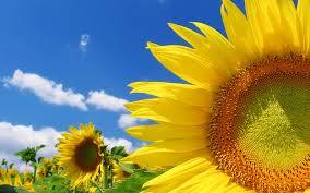подсолнух, sunflower