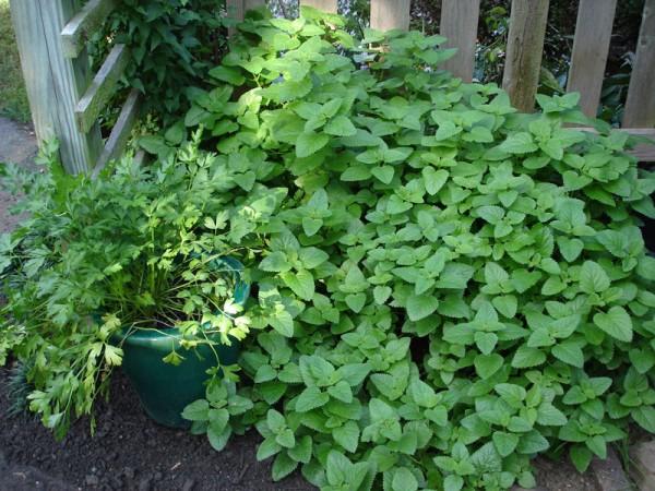 Выращиваем мяту в саду вогороде.нет ничего сложного! выращив.