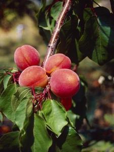 персик, peach