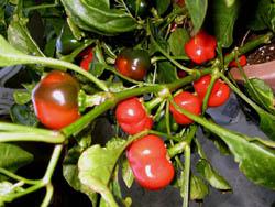 cherry_pepper_small