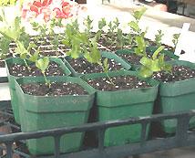 seedlings, саженцы