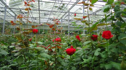 выращивания розы в теплице